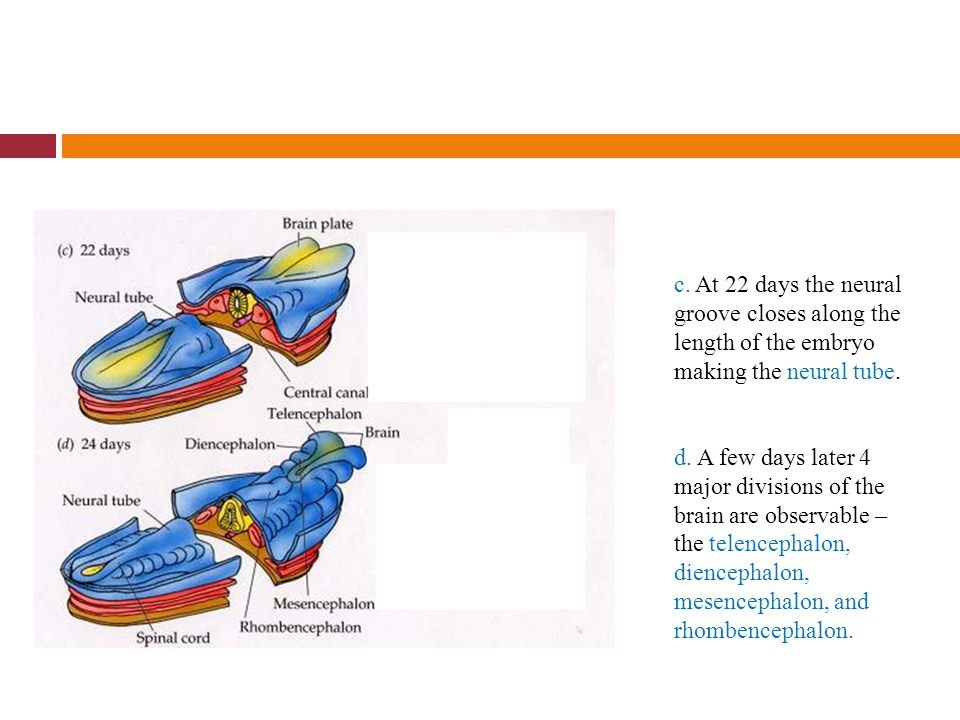 c. At 22 days the neural groove closes along the length of the embryo making the neural tube.