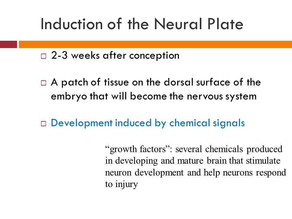 Induction of the Neural Plate  2-3 weeks after conception  A patch of tissue on the dorsal surface of the embryo that will become the nervous system  Development induced by chemical signals growth factors : several chemicals produced in developing and mature brain that stimulate neuron development and help neurons respond to injury