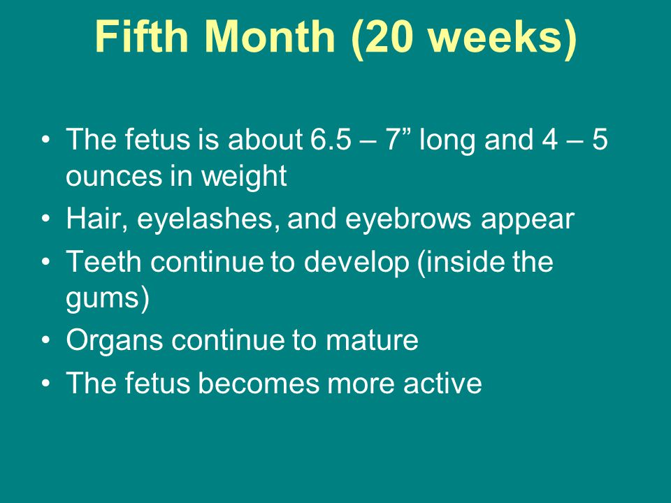 Fifth Month (20 weeks) The fetus is about 6.5 – 7 long and 4 – 5 ounces in weight Hair, eyelashes, and eyebrows appear Teeth continue to develop (inside the gums) Organs continue to mature The fetus becomes more active