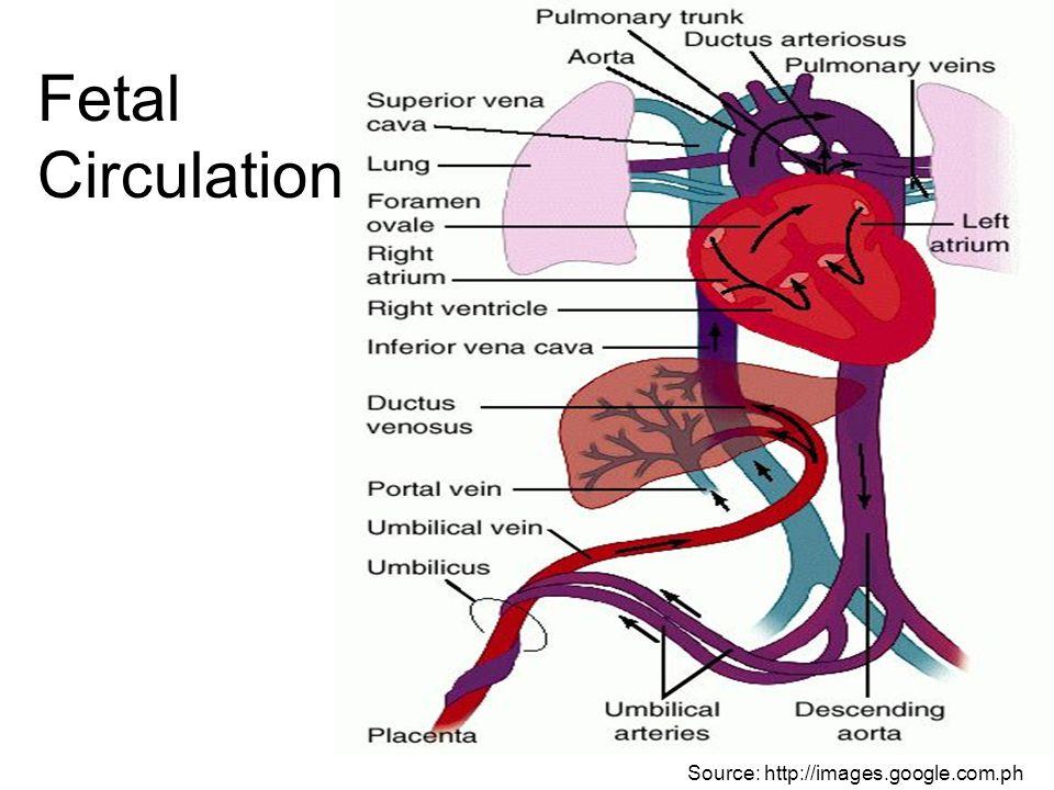Fetal Blood TypeDescriptionChains Hemoglobin FFetal Hgb or alkaline- resistant Hgb 2 alpha chains, 2 gamma chains Hemoglobin AAdult Hgb.