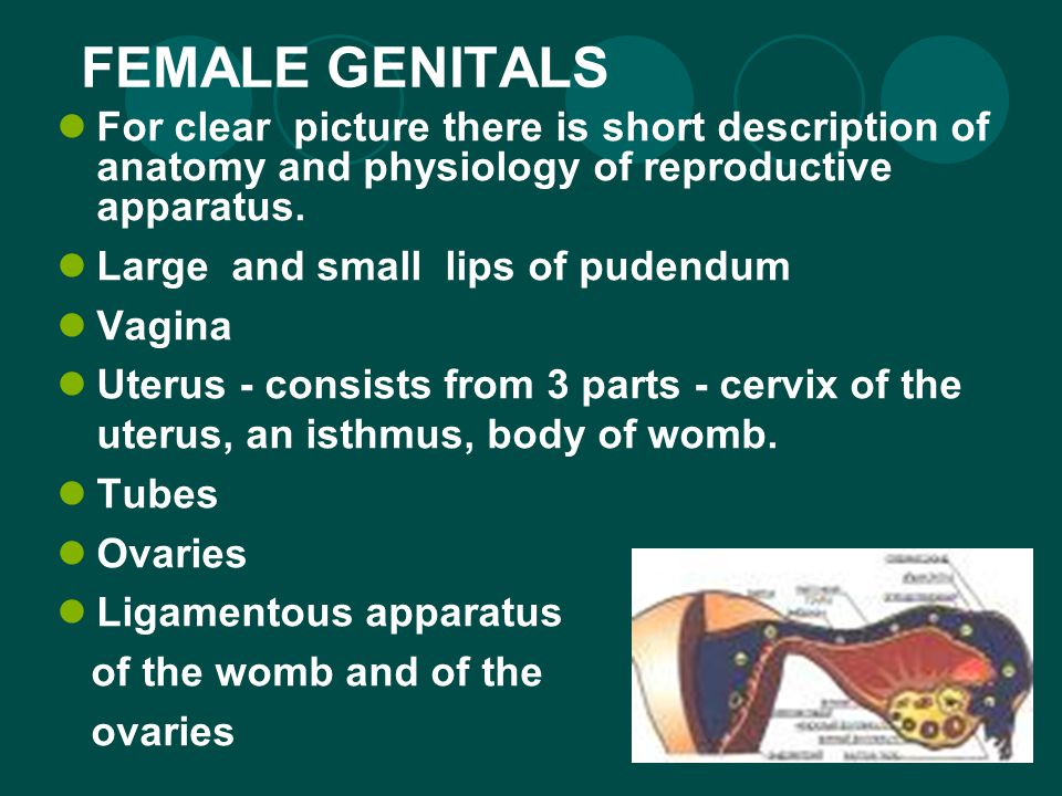 FEMALE GENITALS For clear picture there is short description of anatomy and physiology of reproductive apparatus.