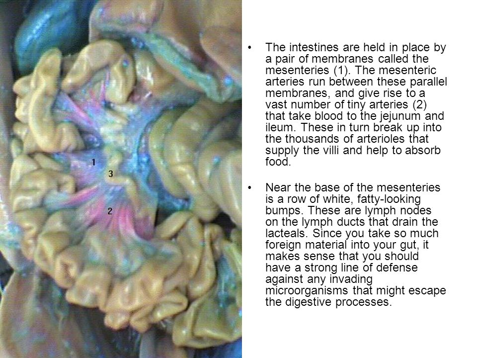 The intestines are held in place by a pair of membranes called the mesenteries (1).