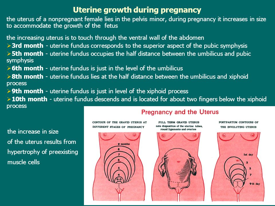 Uterine growth during pregnancy the uterus of a nonpregnant female lies in the pelvis minor, during pregnancy it increases in size to accommodate the