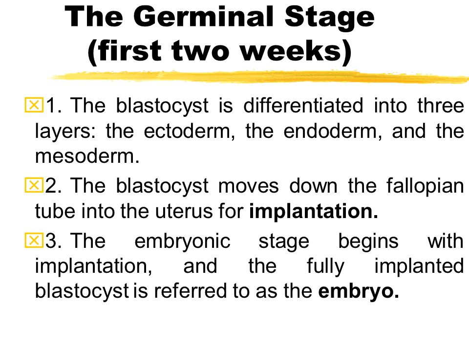The Germinal Stage (first two weeks) x1.The blastocyst is differentiated into three layers: the ectoderm, the endoderm, and the mesoderm. x2.The blast