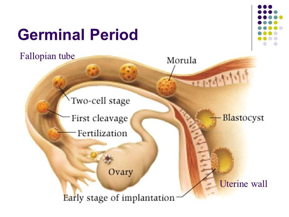 Germinal Period Fallopian tube Uterine wall