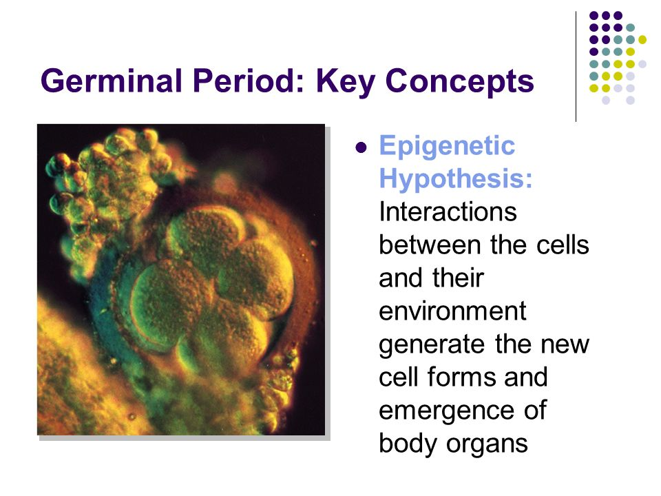Germinal Period: Key Concepts Epigenetic Hypothesis: Interactions between the cells and their environment generate the new cell forms and emergence of