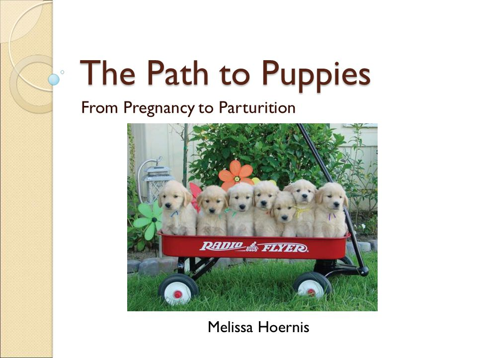 The Path to Puppies From Pregnancy to Parturition Melissa Hoernis