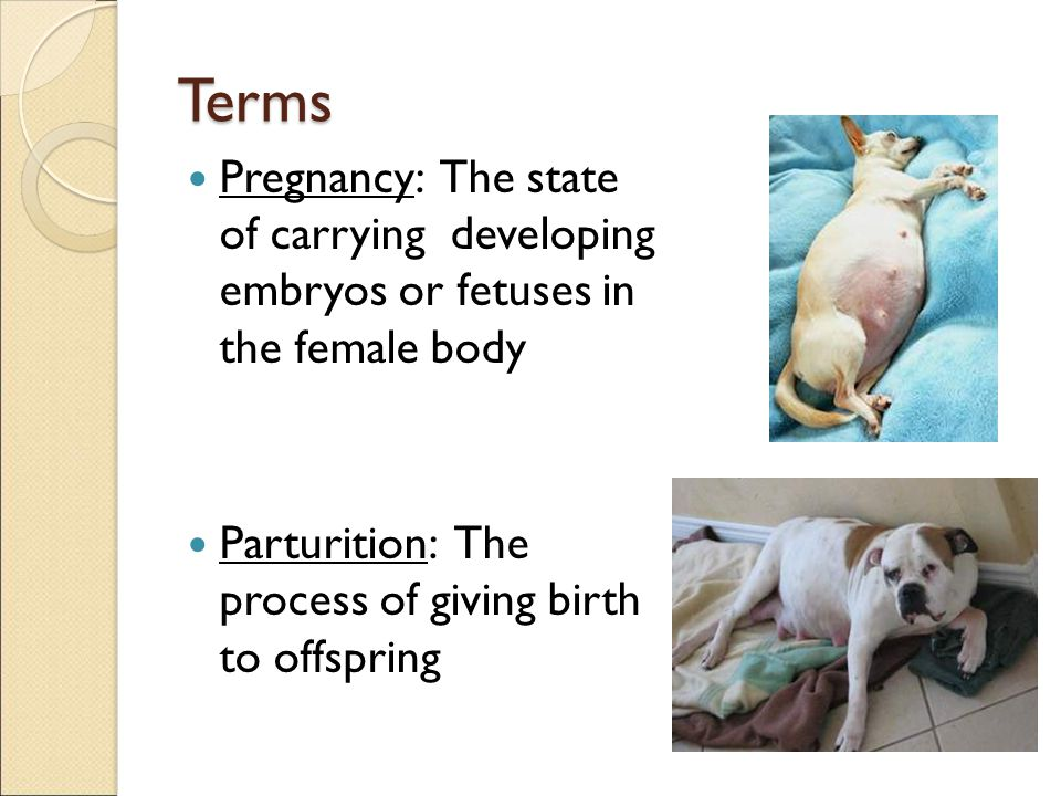 Terms Pregnancy: The state of carrying developing embryos or fetuses in the female body Parturition: The process of giving birth to offspring