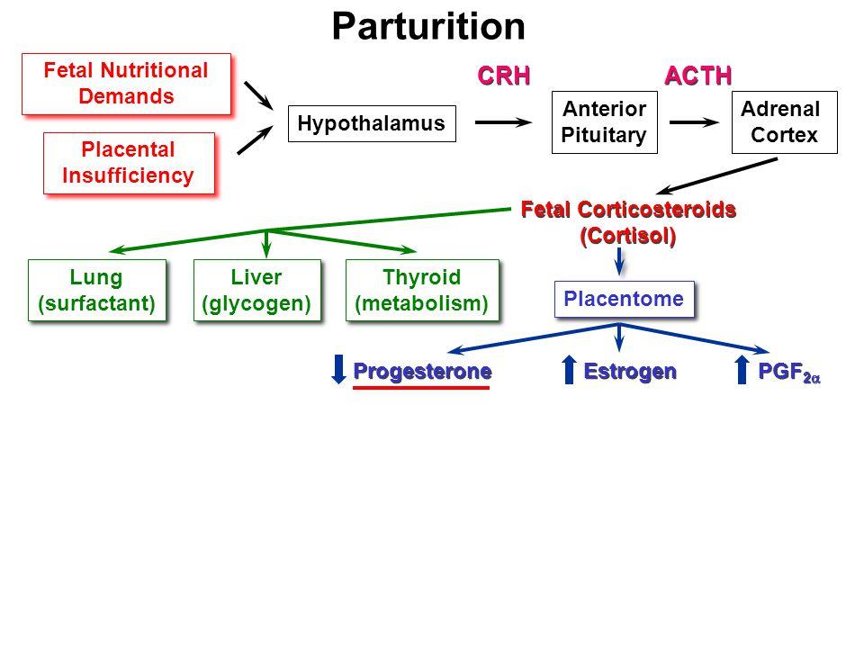 Parturition Fetal Nutritional Demands Fetal Nutritional Demands Placental Insufficiency Placental Insufficiency Hypothalamus Anterior Pituitary Adrenal Cortex CRH ACTH Fetal Corticosteroids (Cortisol) Fetal Corticosteroids (Cortisol) Lung (surfactant) Lung (surfactant) Liver (glycogen) Liver (glycogen) Thyroid (metabolism) Thyroid (metabolism) Progesterone Estrogen PGF 2  Placentome