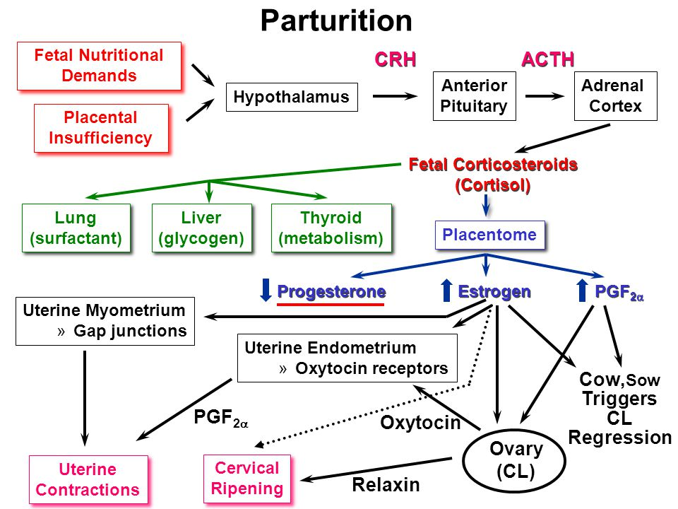 Parturition Fetal Nutritional Demands Fetal Nutritional Demands Placental Insufficiency Placental Insufficiency Hypothalamus Anterior Pituitary Adrenal Cortex CRH ACTH Fetal Corticosteroids (Cortisol) Fetal Corticosteroids (Cortisol) Lung (surfactant) Lung (surfactant) Liver (glycogen) Liver (glycogen) Thyroid (metabolism) Thyroid (metabolism) Progesterone Estrogen PGF 2  Uterine Contractions Uterine Contractions PGF 2  Relaxin Oxytocin Uterine Endometrium »Oxytocin receptors Uterine Myometrium »Gap junctions Ovary (CL) Cow, Sow Triggers CL Regression Placentome Cervical Ripening Cervical Ripening