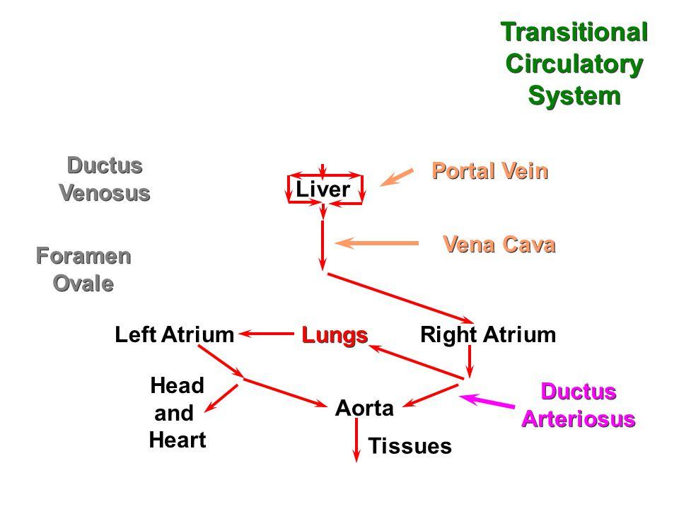 Liver Left Atrium Lungs Right Atrium Foramen Ovale Foramen Ovale Ductus Arteriosus Ductus Arteriosus Aorta Portal Vein Vena Cava Head and Heart Tissues Transitional Circulatory System Transitional Circulatory System Ductus Venosus Ductus Venosus