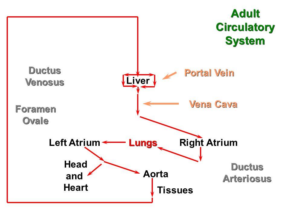 Liver Left Atrium Lungs Right Atrium Foramen Ovale Foramen Ovale Ductus Arteriosus Ductus Arteriosus Aorta Portal Vein Vena Cava Head and Heart Tissues Adult Circulatory System Adult Circulatory System Ductus Venosus Ductus Venosus