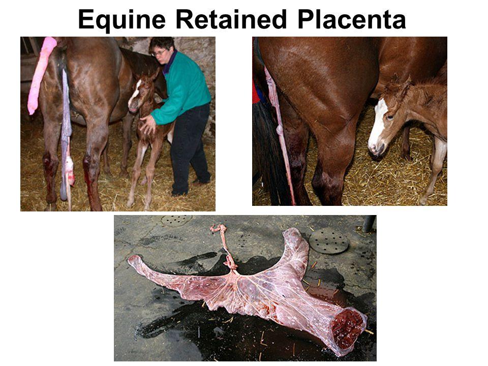 Equine Retained Placenta