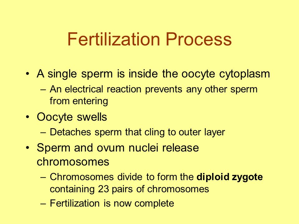 Development of the Conceptus Zygote undergoes cell divisions –Becomes a blastocyst of 100 cells after 4- 5 days –Blastocyst implants in uterine lining on 6 th or 7 th day Blastocyst becomes embryo after implantation in uterus Embryo is called a fetus after 8 th week