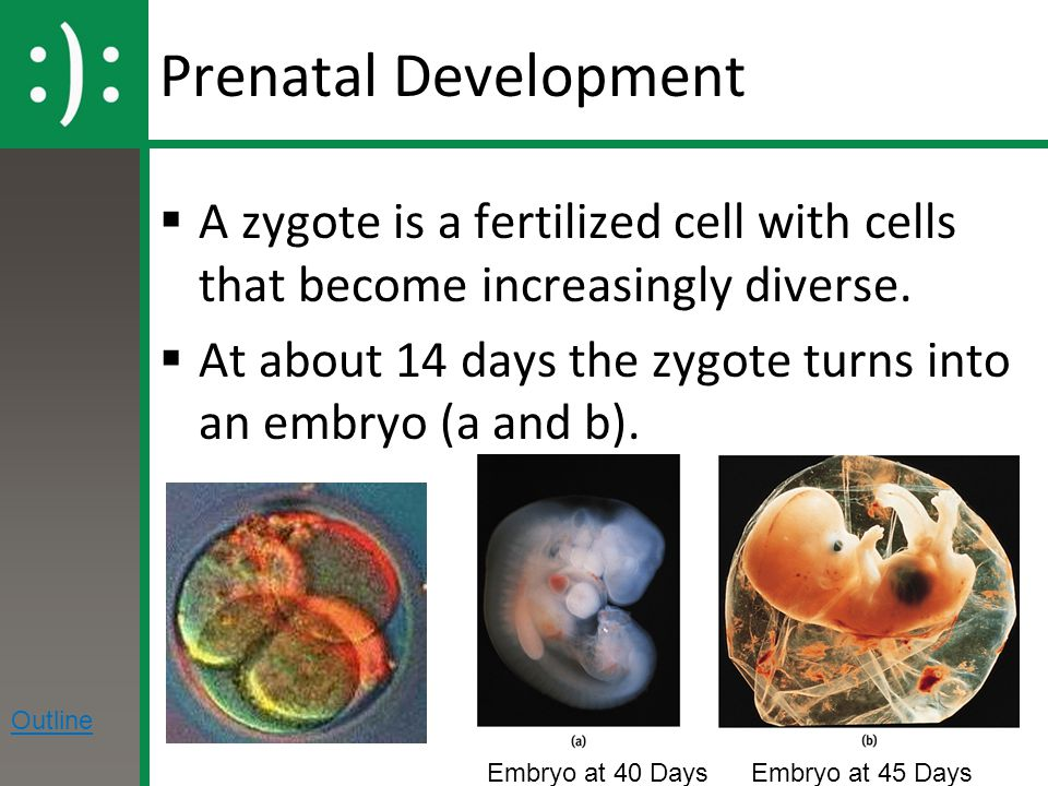 Prenatal Development  A zygote is a fertilized cell with cells that become increasingly diverse.  At about 14 days the zygote turns into an embryo (