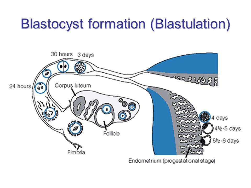 Blastocyst formation (Blastulation)
