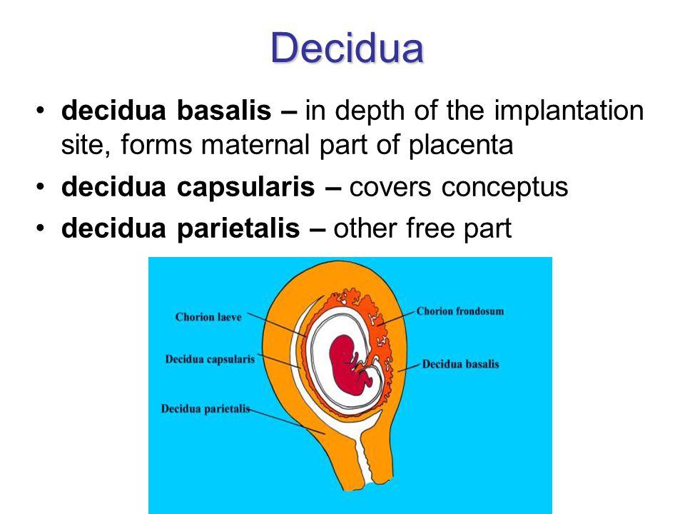 Decidua decidua basalis – in depth of the implantation site, forms maternal part of placenta decidua capsularis – covers conceptus decidua parietalis – other free part