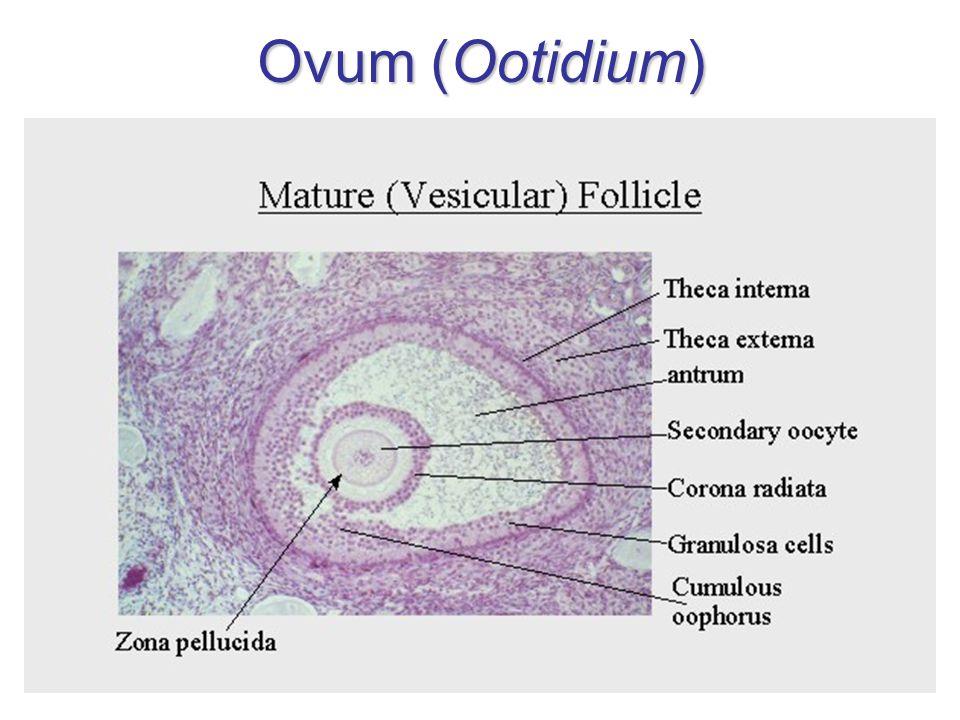 Ovum (Ootidium)