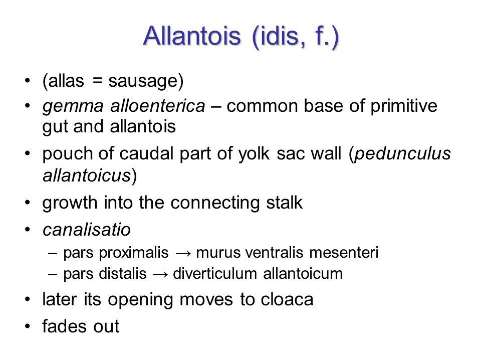 Allantois (idis, f.) (allas = sausage) gemma alloenterica – common base of primitive gut and allantois pouch of caudal part of yolk sac wall (peduncul