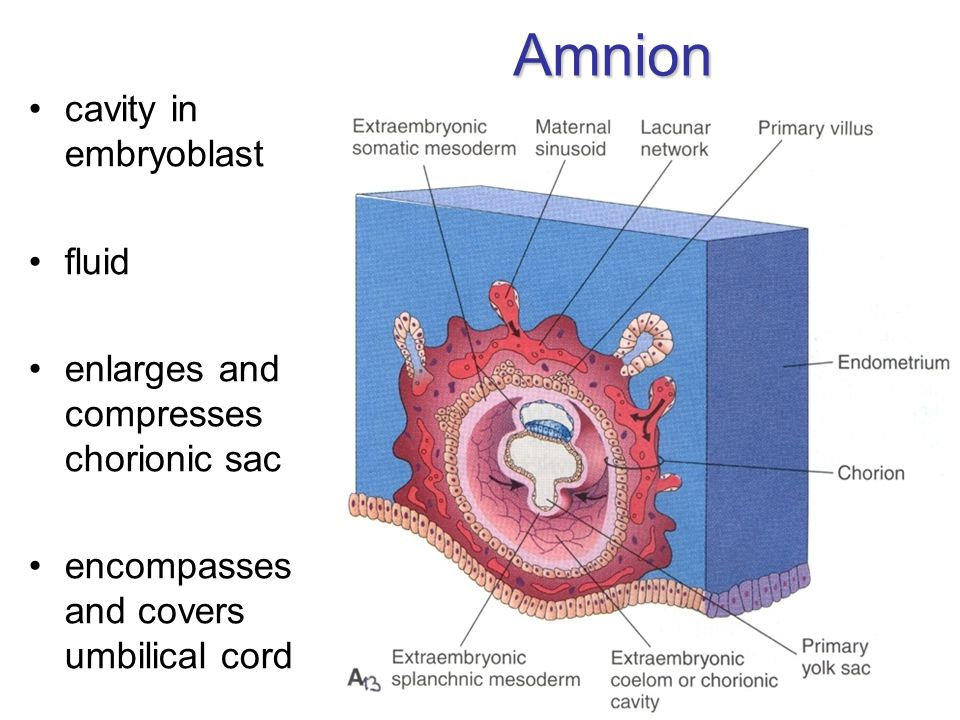 Amnion cavity in embryoblast fluid enlarges and compresses chorionic sac encompasses and covers umbilical cord