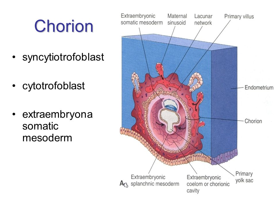 Chorion syncytiotrofoblast cytotrofoblast extraembryona somatic mesoderm