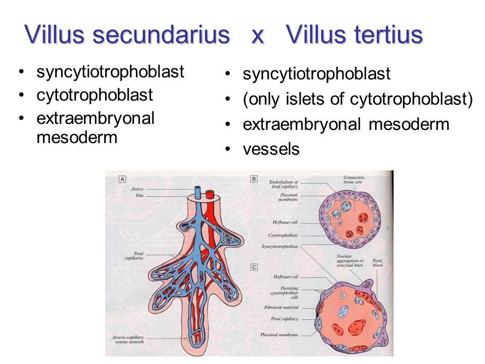 Villus secundarius x Villus tertius syncytiotrophoblast cytotrophoblast extraembryonal mesoderm syncytiotrophoblast (only islets of cytotrophoblast) extraembryonal mesoderm vessels