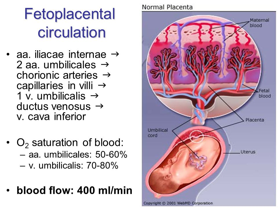 Fetoplacental circulation aa. iliacae internae  2 aa. umbilicales  chorionic arteries  capillaries in villi  1 v. umbilicalis  ductus venosus  v
