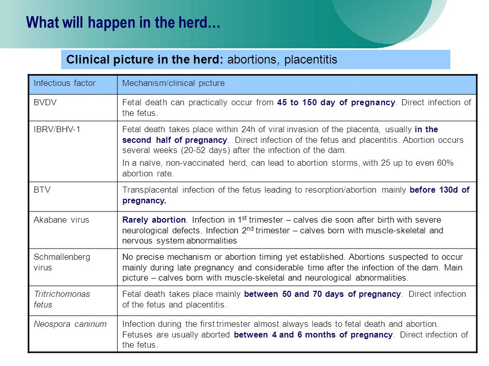 12 What will happen in the herd… Infectious factorMechanism/clinical picture BVDVFetal death can practically occur from 45 to 150 day of pregnancy.
