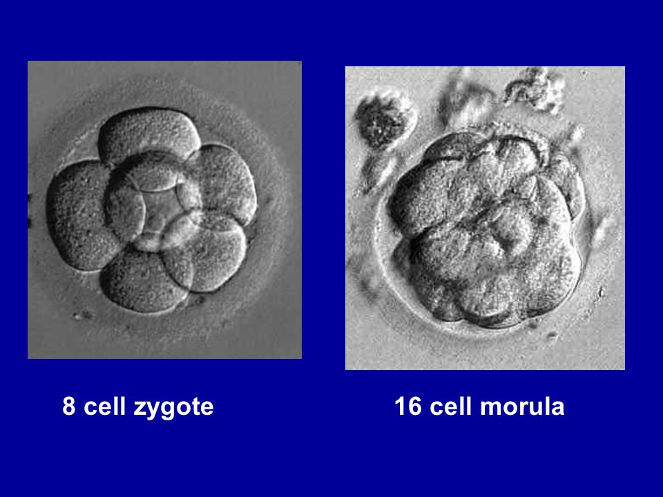 Four Weeks After the cluster of cells attaches to the womb it is called an embryo.