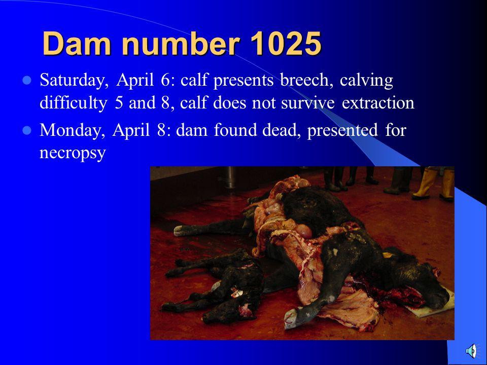 Saturday, April 6: calf presents breech, calving difficulty 5 and 8, calf does not survive extraction Monday, April 8: dam found dead, presented for necropsy Dam number 1025