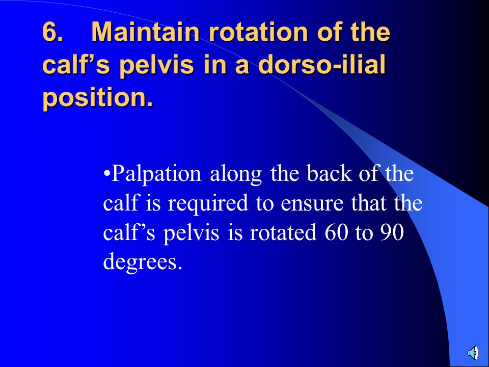 6.Maintain rotation of the calf's pelvis in a dorso-ilial position.
