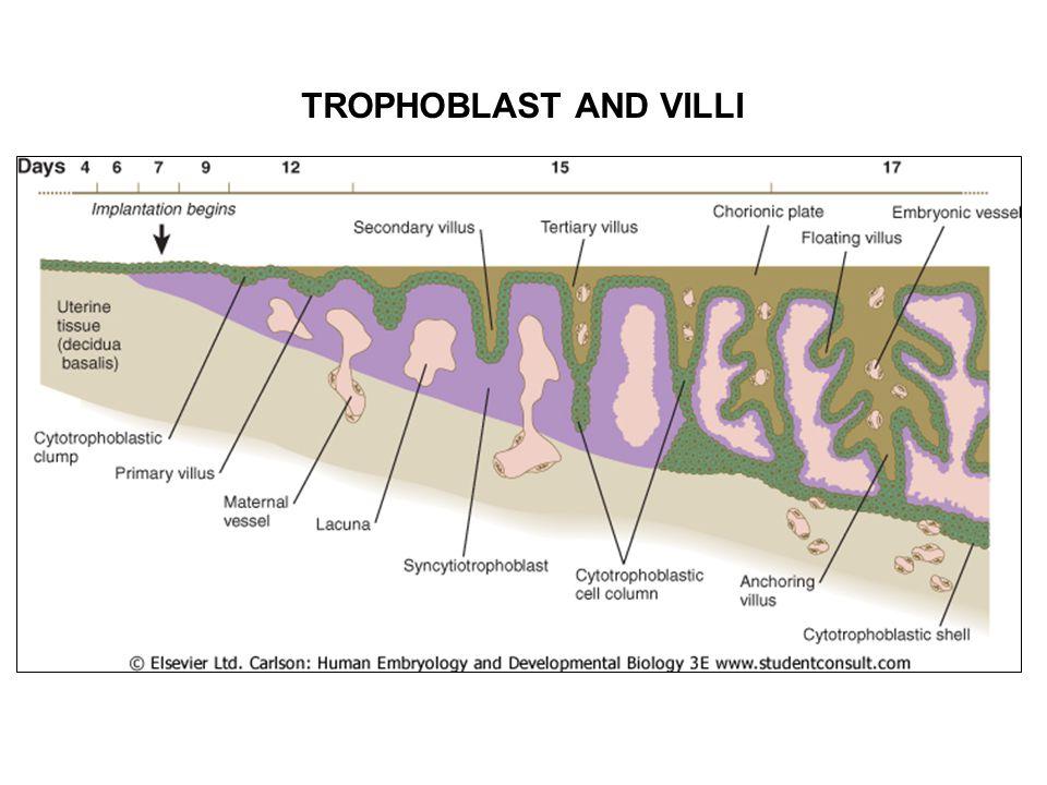 TROPHOBLAST AND VILLI