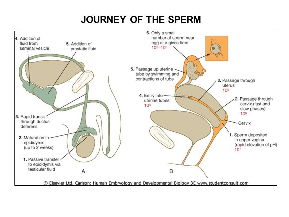 JOURNEY OF THE SPERM