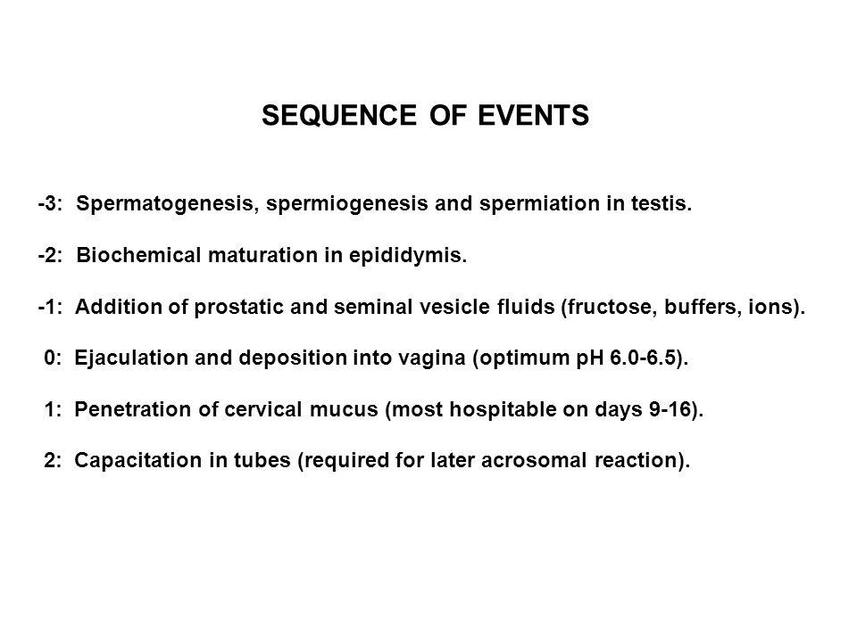 -3: Spermatogenesis, spermiogenesis and spermiation in testis. -2: Biochemical maturation in epididymis. -1: Addition of prostatic and seminal vesicle