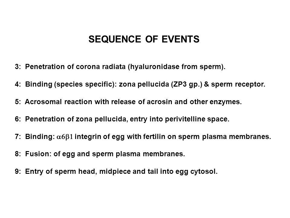 3: Penetration of corona radiata (hyaluronidase from sperm). 4: Binding (species specific): zona pellucida (ZP3 gp.) & sperm receptor. 5: Acrosomal re