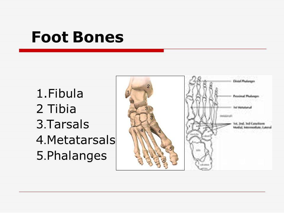 Foot Bones 1.Fibula 2 Tibia 3.Tarsals 4.Metatarsals 5.Phalanges