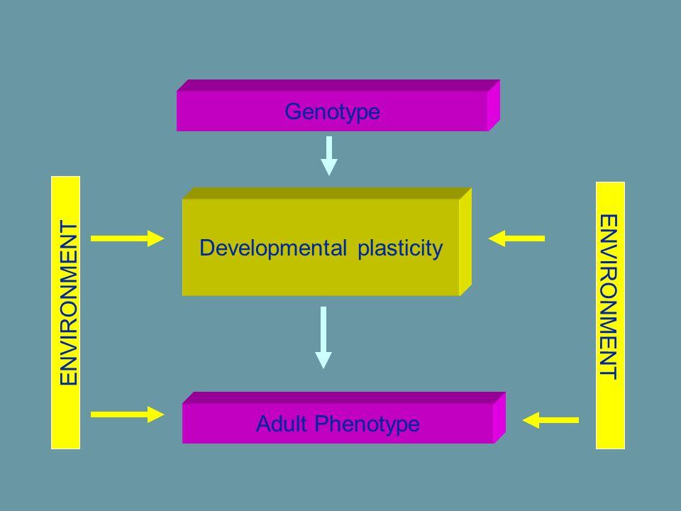Adult Phenotype Developmental plasticity Genotype ENVIRONMENT