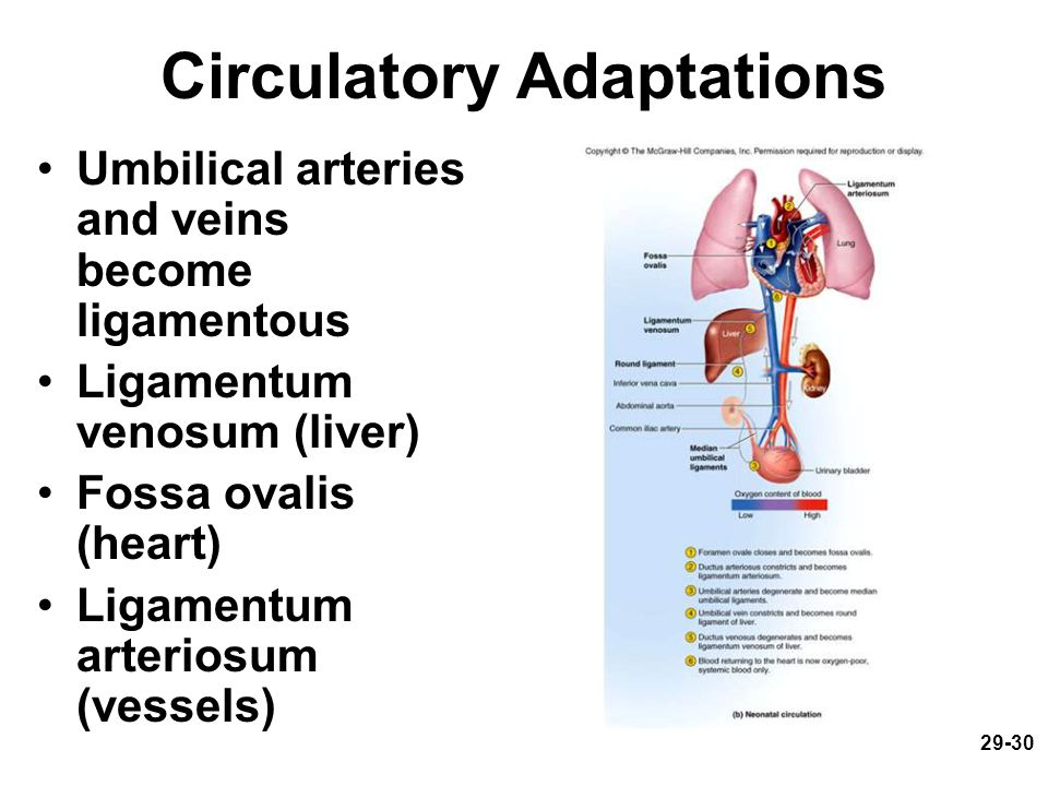 29-30 Circulatory Adaptations Umbilical arteries and veins become ligamentous Ligamentum venosum (liver) Fossa ovalis (heart) Ligamentum arteriosum (v