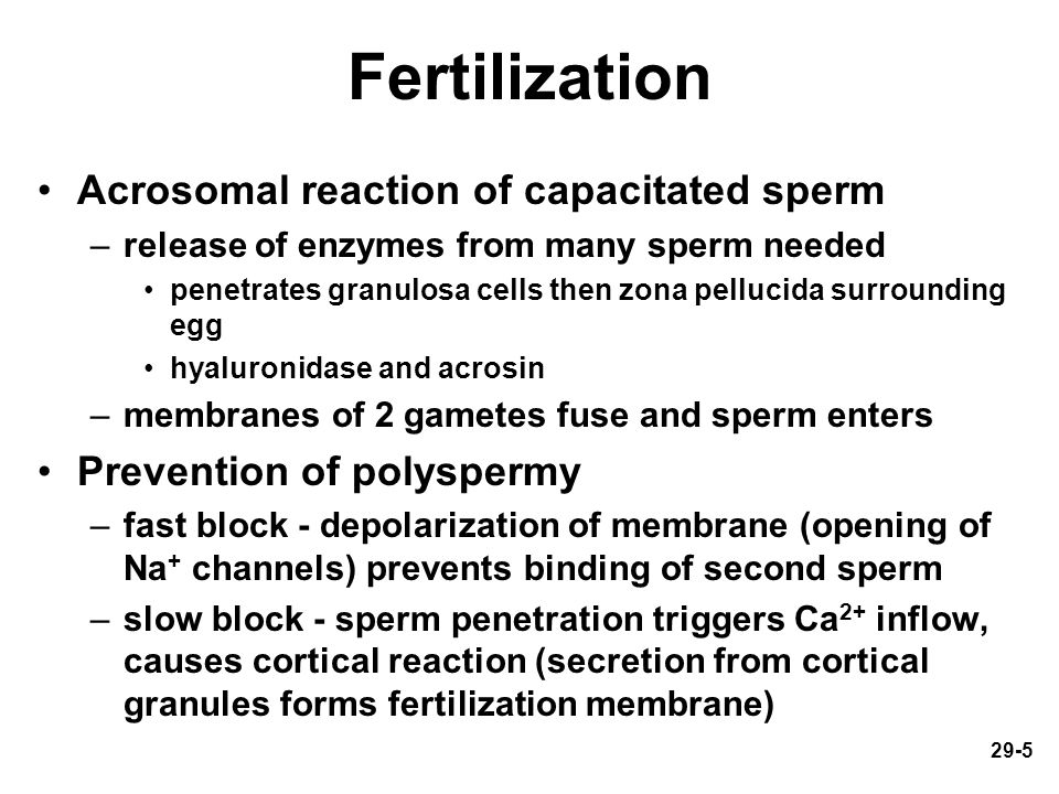 29-5 Fertilization Acrosomal reaction of capacitated sperm –release of enzymes from many sperm needed penetrates granulosa cells then zona pellucida s