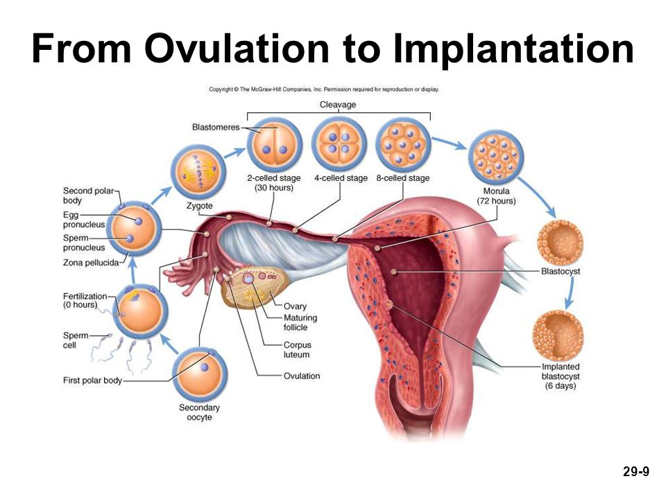 29-9 From Ovulation to Implantation Fig. 29.2