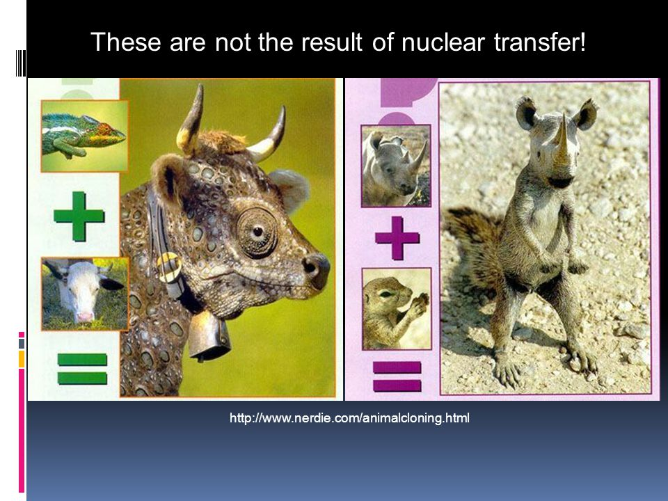 These are not the result of nuclear transfer! http://www.nerdie.com/animalcloning.html