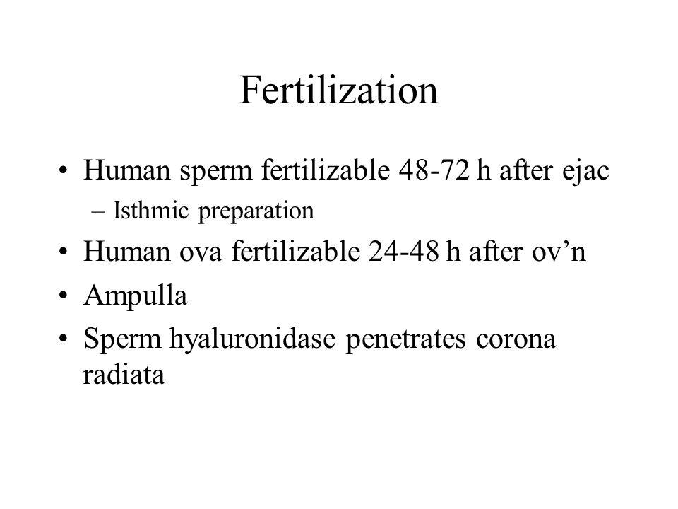 Fertilization Human sperm fertilizable 48-72 h after ejac –Isthmic preparation Human ova fertilizable 24-48 h after ov'n Ampulla Sperm hyaluronidase p