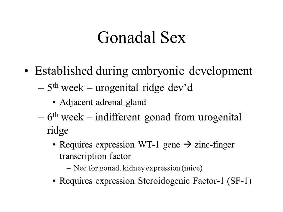 Gonadal Sex Established during embryonic development –5 th week – urogenital ridge dev'd Adjacent adrenal gland –6 th week – indifferent gonad from ur