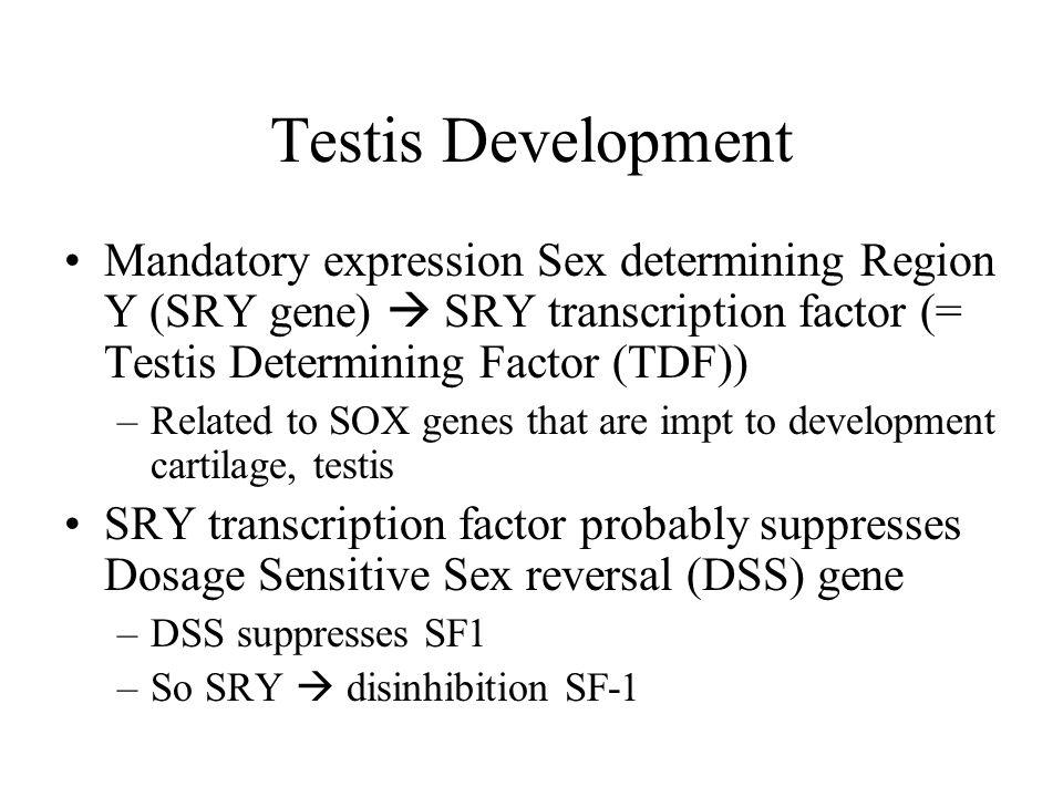 Testis Development Mandatory expression Sex determining Region Y (SRY gene)  SRY transcription factor (= Testis Determining Factor (TDF)) –Related to