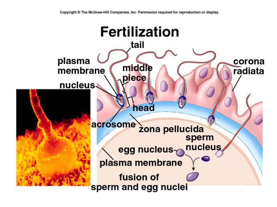 Sperm head fuses w/ oocyte 2 nd Meiotic div'n –  Mature oocyte + polar body –Mech's to prevent polyspermy Fusion male, female pronuclei  diploid zygote Mitosis  morula  blastocyst Blastocyst  uterus Implantation  dev't chorion, placenta