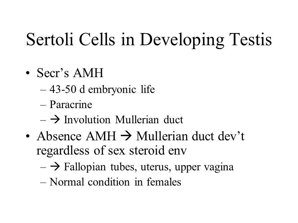 Sertoli Cells in Developing Testis Secr's AMH –43-50 d embryonic life –Paracrine –  Involution Mullerian duct Absence AMH  Mullerian duct dev't rega