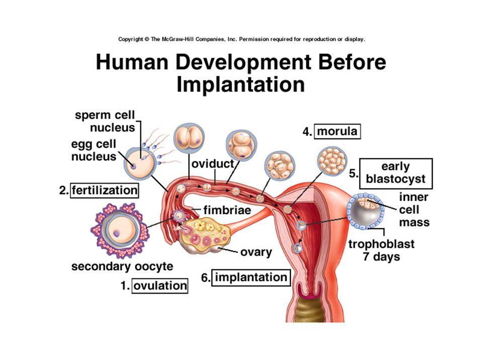 Implantation, Early Embryo Development Implantation begins 5-6 d after fert'n (d 21 cycle) –Completed 11 fert'n d –Coincides w/ peak prod'n progesterone by CL (midluteal) Progesterone impt to preparation decidual, secretory endometrium –If no fert'n, CL would begin decline now