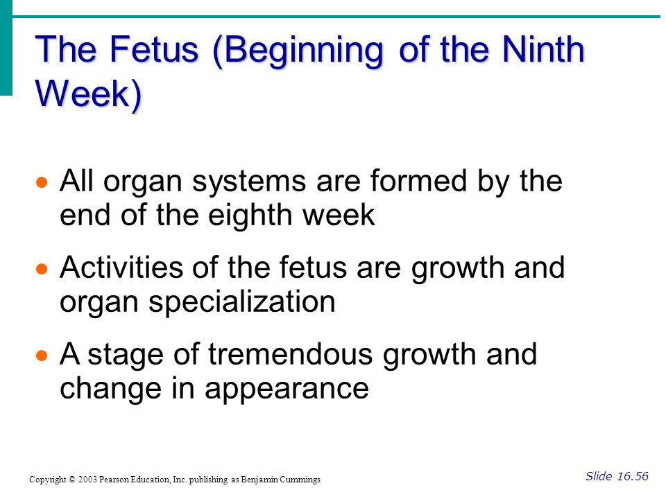 The Fetus (Beginning of the Ninth Week) Slide 16.56 Copyright © 2003 Pearson Education, Inc. publishing as Benjamin Cummings  All organ systems are f