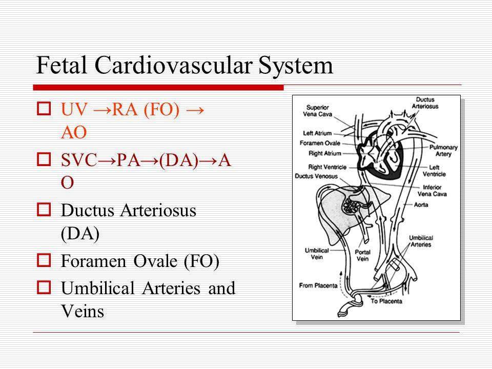 Fetal Cardiovascular System  UV →RA (FO) → AO  SVC→PA→(DA)→A O  Ductus Arteriosus (DA)  Foramen Ovale (FO)  Umbilical Arteries and Veins