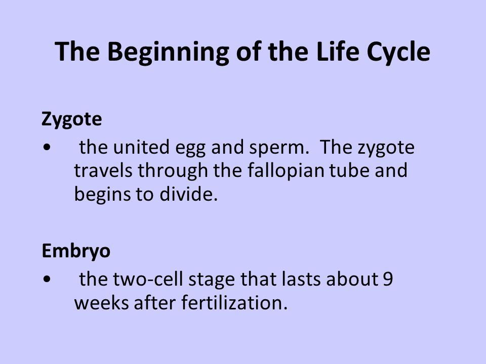 The Beginning of the Life Cycle Zygote the united egg and sperm. The zygote travels through the fallopian tube and begins to divide. Embryo the two-ce